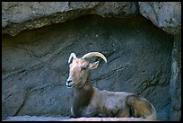 Desert Bighorn sheep, Arizona Sonora Desert Museum. Tucson, Arizona, USA (color)