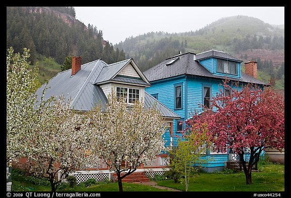 Flowering trees and houses. Telluride, Colorado, USA (color)