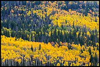 Aspens in fall foliage mixed with conifers, Rio Grande National Forest. Colorado, USA (color)
