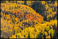 Aspens in bright fall foliage, Rio Grande National Forest. Colorado, USA (color)