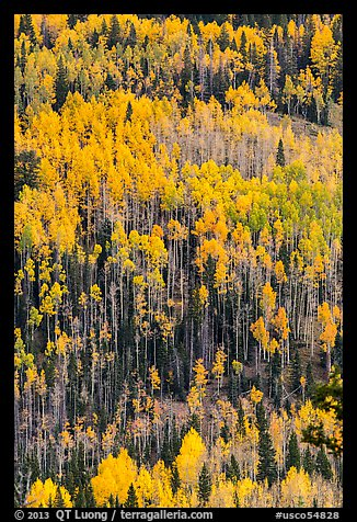 Aspens in autumn foliage on hillside, Rio Grande National Forest. Colorado, USA (color)