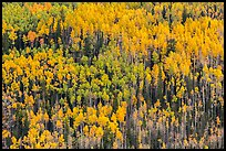 Slope with aspens in autumn color, Rio Grande National Forest. Colorado, USA (color)