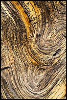 Juniper tree bark detail. Chimney Rock National Monument, Colorado, USA (color)
