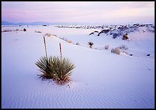 Yuccas and gypsum dunes, dawn. White Sands National Monument, New Mexico, USA (color)