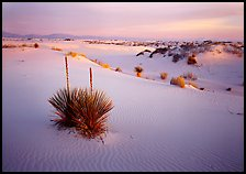 Yucca and white gypsum sand at sunrise. White Sands National Monument, New Mexico, USA