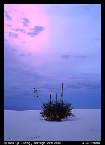 Lone yucca plants at sunset, White Sands National Monument. USA (color)