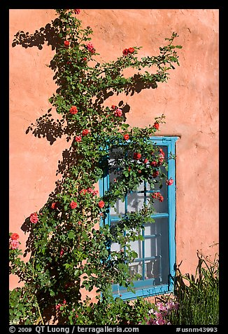 Roses, adobe wall, and blue window. Santa Fe, New Mexico, USA (color)