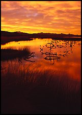 Reeds and branches in marsh, sunrise, Havasu National Wildlife Refuge. Nevada, USA ( color)