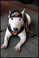 Puppy wearing Harley-Davidson gear. Reno, Nevada, USA (color)