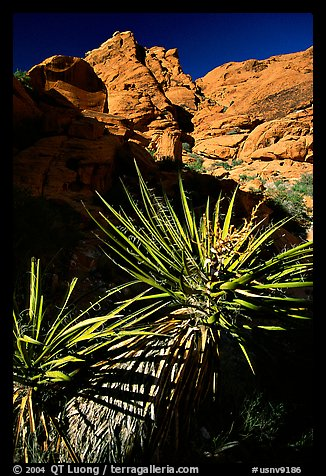 Yucca and red rocks. Red Rock Canyon, Nevada, USA (color)