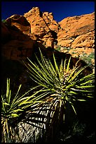 Yucca and red rocks. Red Rock Canyon, Nevada, USA ( color)