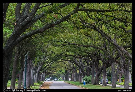 Tree tunnel, North Boulevard. Houston, Texas, USA (color)