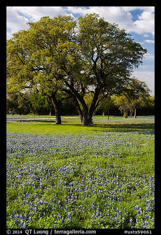 Bluebonnets and trees. Texas, USA (color)