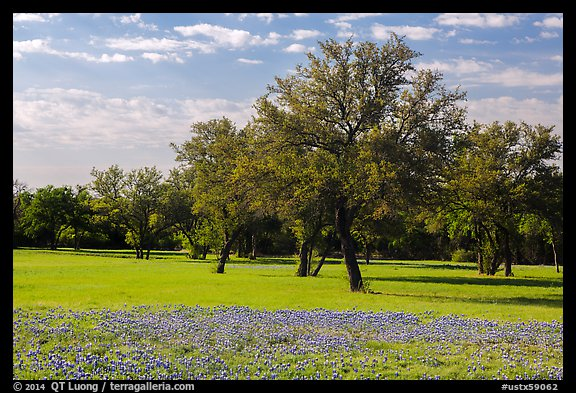 Grass, bluebonnets and trees. Texas, USA (color)