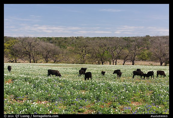Cows in flower-filled meadow. Texas, USA (color)