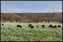 Cows in flower-filled meadow. Texas, USA ( color)