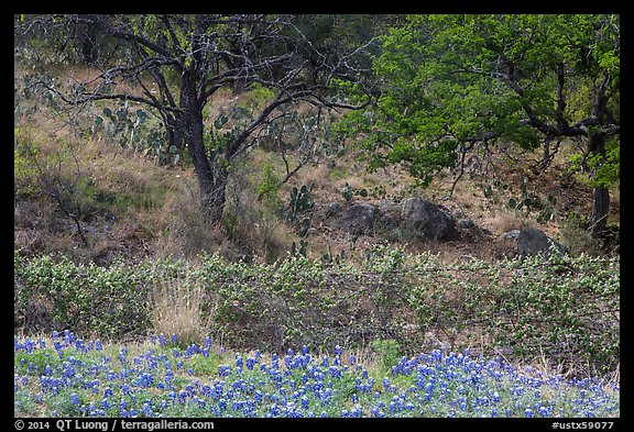 Blubonnets, cactus, and trees. Texas, USA (color)
