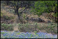 Blubonnets, cactus, and trees. Texas, USA ( color)