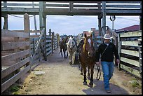 Man leading horse in path between fences. Fort Worth, Texas, USA ( color)