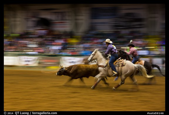Team roping, Stokyards Championship Rodeo. Fort Worth, Texas, USA (color)