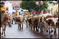 Longhorn cattle driven on Stockyards main street. Fort Worth, Texas, USA ( color)
