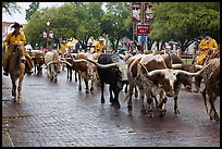 Cowboys drive Longhorn cattle herd through Stockyards street. Fort Worth, Texas, USA ( color)