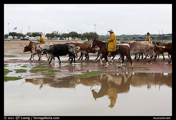 Cowboys and cattle reflected in a water puddle. Fort Worth, Texas, USA (color)