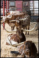 Longhorn cattle in pen. Fort Worth, Texas, USA ( color)