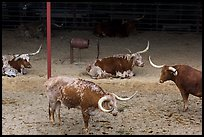 Texas Longhorn herd. Fort Worth, Texas, USA ( color)