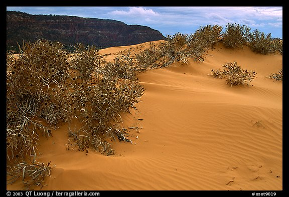 Sand dunes and bushes, Coral Pink Sand Dunes State Park. Utah, USA (color)