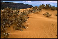 Sand dunes and bushes, Coral Pink Sand Dunes State Park. Utah, USA ( color)