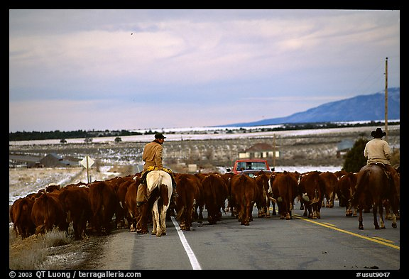 Cowboys escorting cattle. Utah, USA (color)