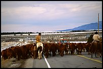 Cowboys escorting cattle on a road near Moab. Utah, USA
