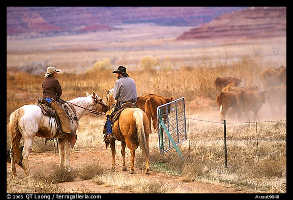 Cowboys and cattle. Utah, USA (color)