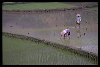 Tending to rice field in the mountains