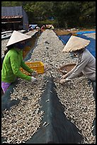Women picking up dried anchovies. Phu Quoc Island, Vietnam (color)