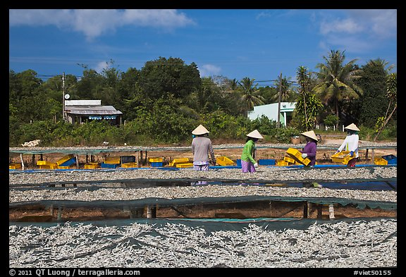 Dried fish production. Phu Quoc Island, Vietnam (color)