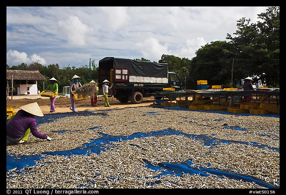 Women through baskets of fish on tarp for drying. Phu Quoc Island, Vietnam (color)