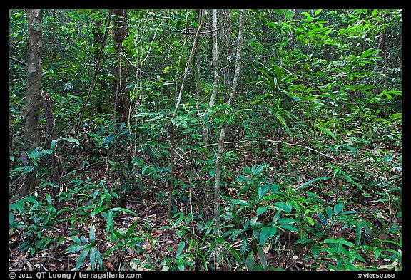 Tropical forest undergrowth. Phu Quoc Island, Vietnam (color)