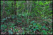 Tropical forest undergrowth. Phu Quoc Island, Vietnam ( color)