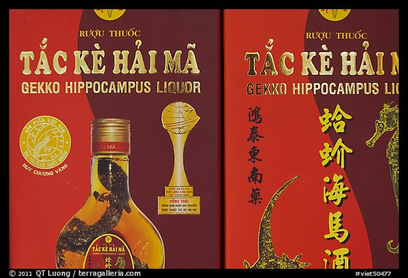 Close-up of Gekko Hippocampus liquor used in traditional medicine. Cholon, Ho Chi Minh City, Vietnam (color)
