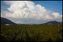 Thanh long fruit (pitaya) field and moonson clouds. Vietnam (color)