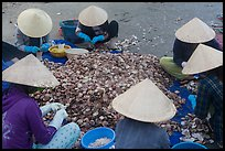 Women in conical hats processing pile of scallops. Mui Ne, Vietnam (color)