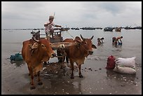 Bullock cart on fishing beach. Mui Ne, Vietnam (color)