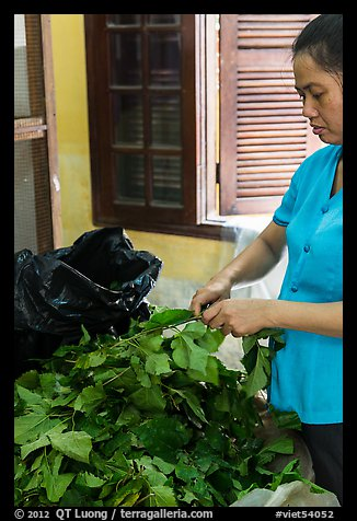 Woman detaching leaves for feeding silkworms. Hoi An, Vietnam (color)