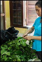 Woman detaching leaves for feeding silkworms. Hoi An, Vietnam ( color)