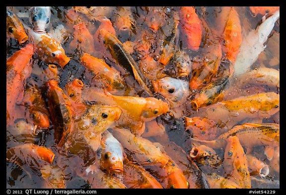 Picture photo koi fish citadel hue vietnam for Kumak s fish