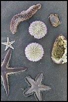 Close-up of beach with sea star, sea anemone, sea urchin, and sea cucumber. Mui Ne, Vietnam (color)