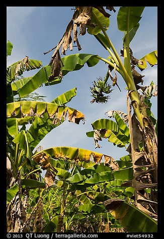Banana trees. Ben Tre, Vietnam (color)