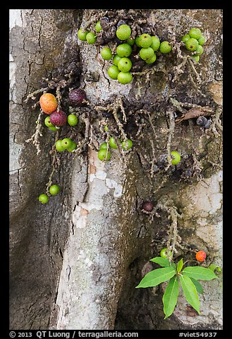 Close-up of bark and fig. My Tho, Vietnam (color)